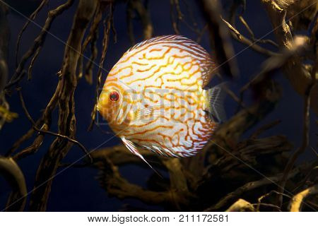 Wild Amazon Discus fish in the wild life. High resolution photo.