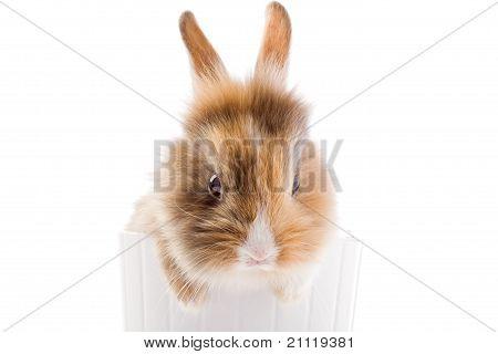 Dwarf Rabbit With Lion's Head