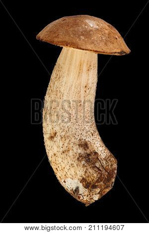 One Bolete Is Isolated On A Black Background