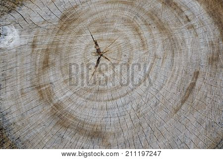 Stump with cracked wood. The wood stump texture