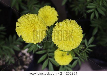 Marigold flowers in front of home garden stock photo