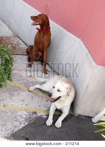 Spaniel And Labrador