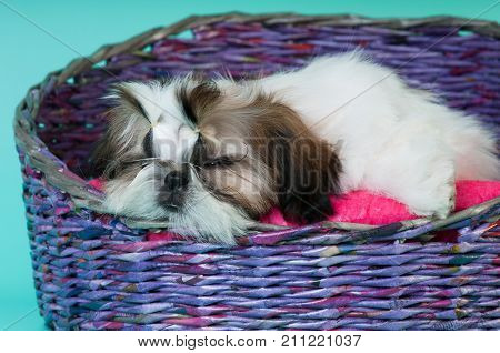 Shih tzu puppy portrait at studio lying and sleeping in wicker couch basket