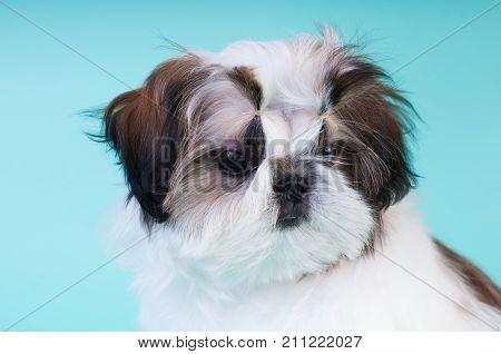 Shih tzu puppy portrait at studio closeup portrait with sad look down and side