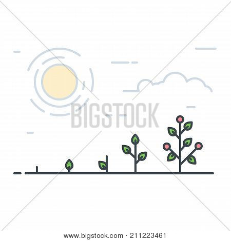 Growing plant stages. Seeds sprout and grow plant. Vegetable tomatoes or red fruits or flowers. Line style flat illustration of garden plant with leaves. Thin lines. Grow process.