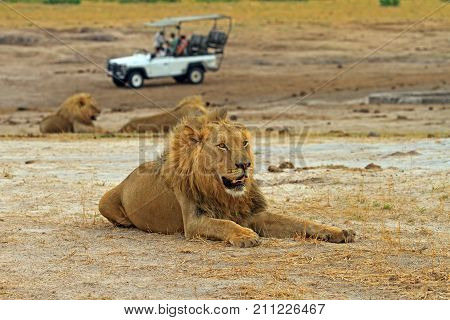 Male Lion (Leo Panthera) resting on the African plains with a safari game vehicle and another lion in the distance Hwange National Park Zimbabwe