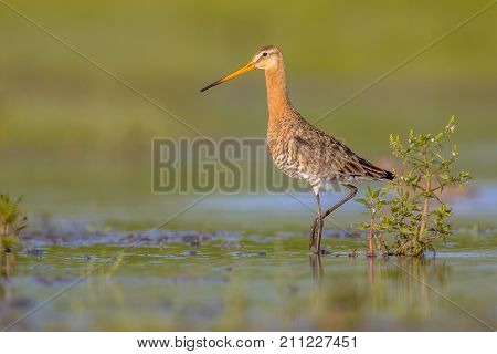 Majestic Black-tailed Godwit Wader Bird Majestically Standing Looking In The Camera