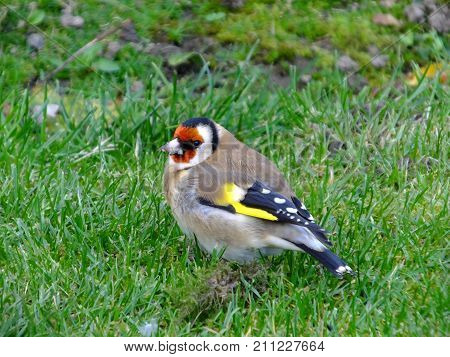 Colorful goldfinch looking for seeds amongst grass during autumn
