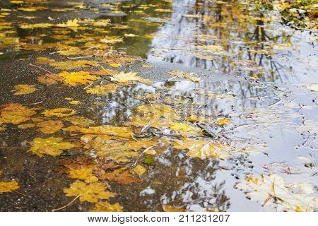 Yellow and red maple leaves in a puddle under the rain. Overcast day. Autumn mood.