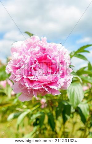 Beautiful pink Minuet peony flowers. Vertical Outdoors summertime vibrant image.