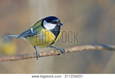 Titmouse With Bright Plumage Sitting On Fir Branches