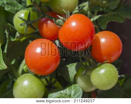 close up ripen and green cherry tomatoes on branch