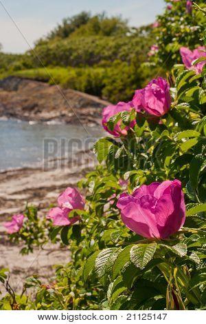 coastal scene of beach roses