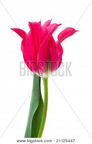 Elegant Crimson Tulip Isolated On White
