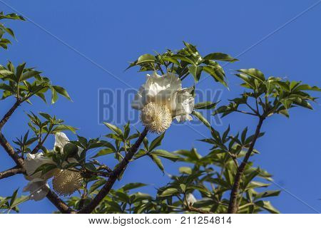 Baobab tree flower in Kruger national park, South Africa ; Specie Adansonia digitata family of Malvaceae