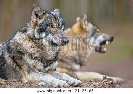 Two Resting Grey Wolfs