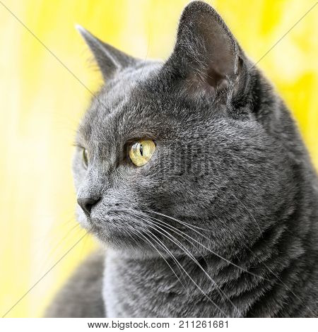The chartreux blue cat on yellow background.