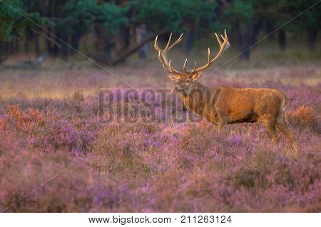 Male Red Deer With Antlers