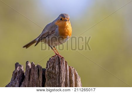 Robin On A Wooden Pole In A Forest