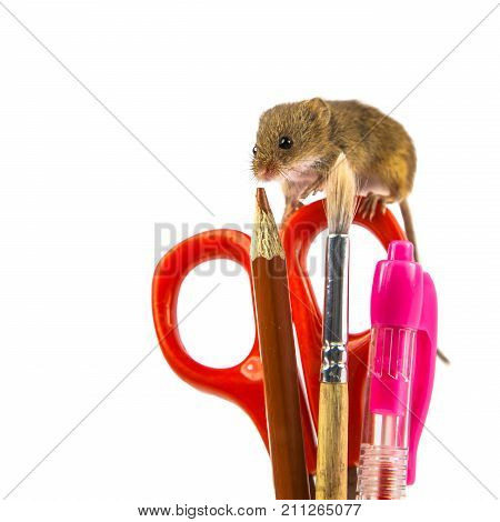 Harvest Mouse On School Utensils Concept