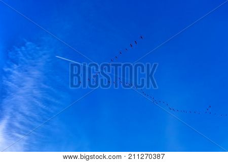 View of the deep blue evening autumn sky with flock of flying migrating geese at a V shape formation and a white stripe from an airplane. Copy space.