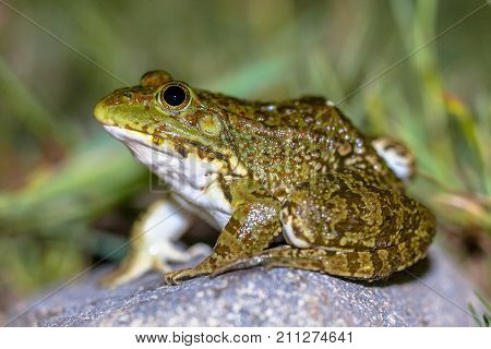 South European Levantine Water Frog