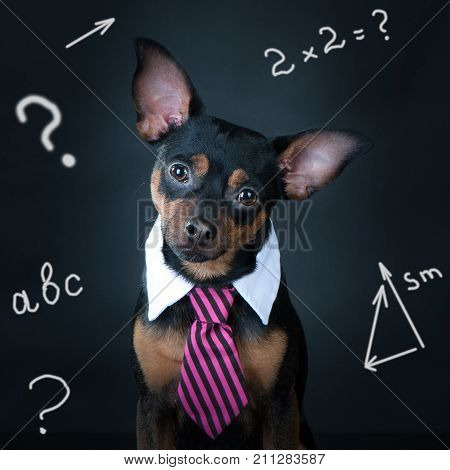 A dog toyterrier a tie and a white collar. Education training of dogs. student schoolboy