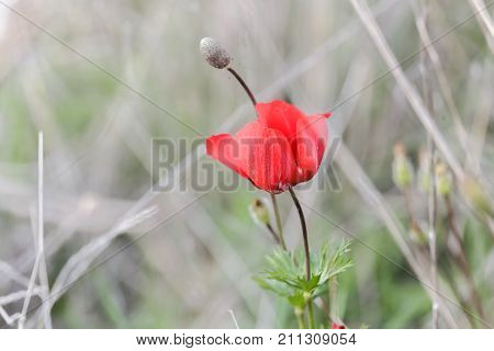 One Bright Red Anemone With A Small Bud