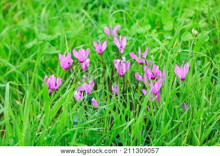 Group Od Wild Pink Cyclamen Flowers