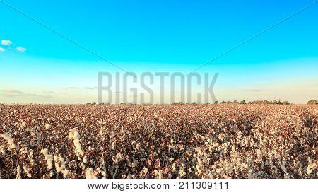 Wide Field Of Ripe White Cotton