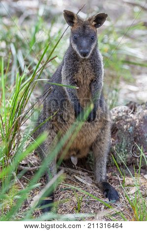 Pademelon eating- native Australian marsupial mammal portrait