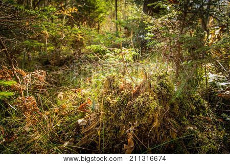 Summer forest undergrowth vegetation, grass, shrubs, moss, pinewood lit by the sun, close up wide angle selective focus