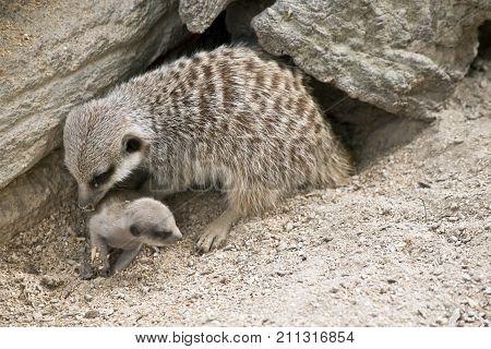 the mother meerkat is grooming the baby meerkat