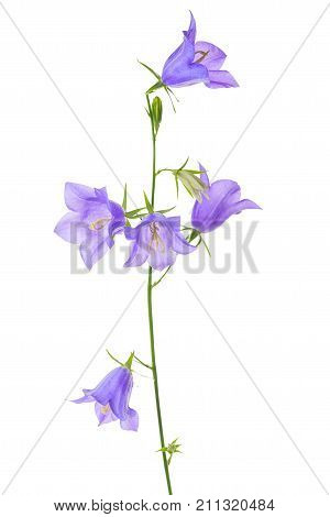 Bluebell Or Campanula Flower Isolated On White Background, Close Up