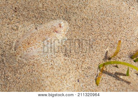 Close up underwater photo of flat sole fish burying in sand beach sea bottom. Protective camouflage mimicry and ocean floor imitation pattern of flounders and flatfishes. Marine animals background.