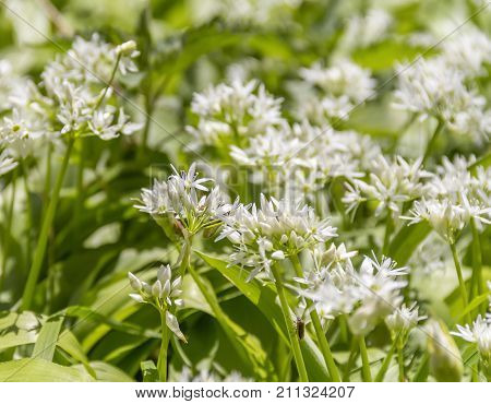 picture showing ramsons blossoms with some insects closeup