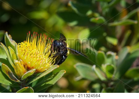 A female carpenter bee gathers pollen from a protea flower in Kirstenbosch Botanical Gardens, Cape Town, South Africa