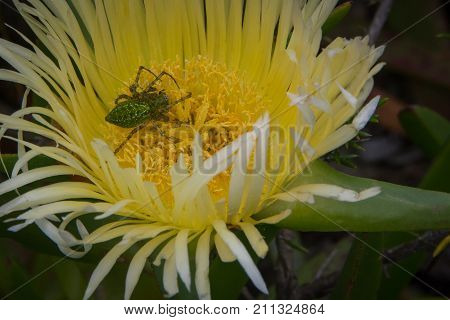 A green spider collects pollen in a sour fig flower near Cape Town, South Africa