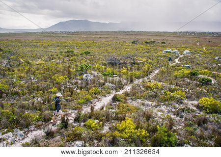Hikers walk along a trail towards the misty hills through the iconic fynbos bush near Cape Point, South Africa.