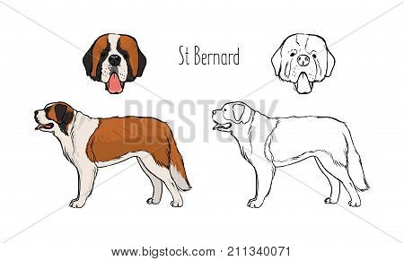 Set of colorful and monochrome contour line drawings of face and full body of St. Bernard, front and side views. Giant alpine search and rescue dog. Realistic vector illustration