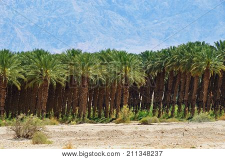 Plantation Of Palm Trees, Israel