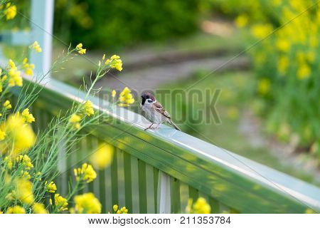 Wren perched on the fence to be suck nectar from flowers in garden