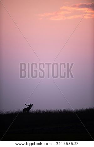 Silhouette Of Bellowing Red Deer Stag At Sunset