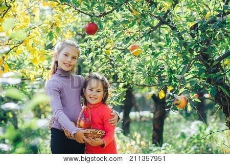 Two little sisters collected the basket of ripe apples