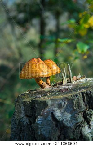 Two Mushrooms On Birch Stub In The Autumn Forest