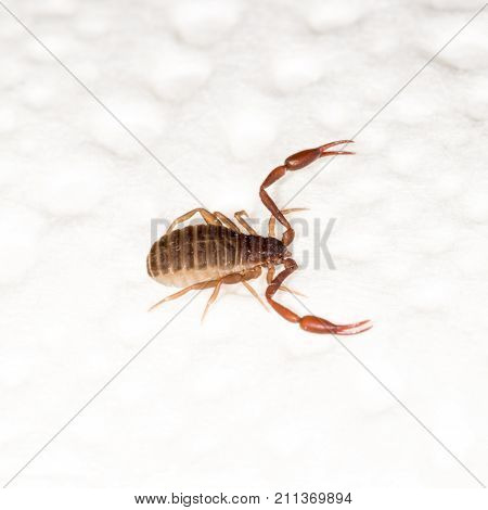 A 3Mm Long Book Scorpion With Pincers