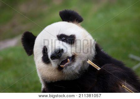 Giant panda (Ailuropoda melanoleuca). Wildlife animal.