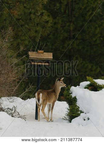 Whitetail Fawn standing near a bird feeder in the snow