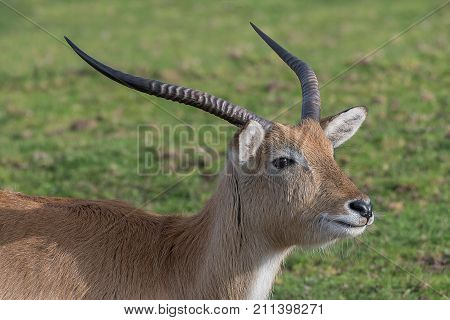 A close up portrait of the head of a male kafue lechwe showing the antlers and looking right