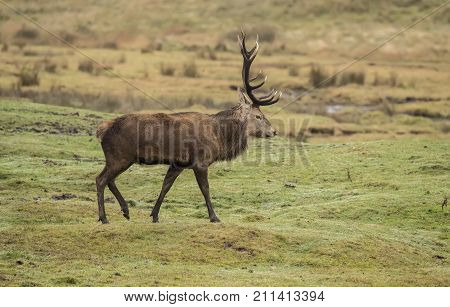 Red Deer Stag On A Hillside In The Highlands Of Scotland
